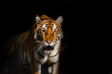Photo sur Aluminium Animaux de Hipster Young Siberian tiger, otherwise known as the Amur Tiger