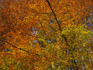 colorful orange beech tree branches natural autumn leaves background