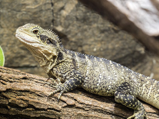 portrait of a large Australian Water Dragon, Physignathus lesueurii