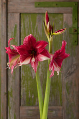 Red and white blossoming amaryllis on a rusty green background. (Amaryllidaceae)