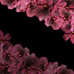 Beautiful floral background of dark red pelargonium