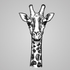 Engraving style giraffe head. African white animal in sketch style. Vector illustration.