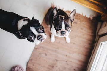 two boston terriers wondering if you love them