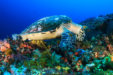 A Hawksbill Sea Turtle feeding on a deep, colorful tropical coral reef