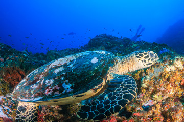 Sea Turtle feeding on a colorful, tropical coral reef