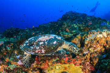 Hawksbill Turtle feeding on a colorful, healthy tropical coral reef