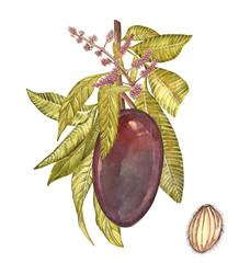 Mango tree vintage design template. Watercolor botanical illustration. Mango Fruit Isolated on white background.
