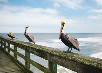 pelican trio on an ocean pier