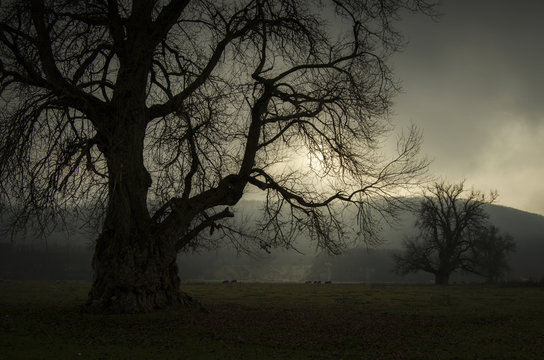 Dark giant tree on a meadow with fog and light