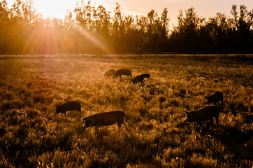 Free Range Pig Farm at Sunrise