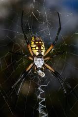 Large Black and Yellow Argiope Orb Weaver Spider (Argiope aurantia)
