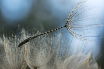 Dandelion seed, ready to fly away