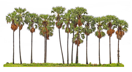 Toddy palm or Sugar palm tree isolated on white background