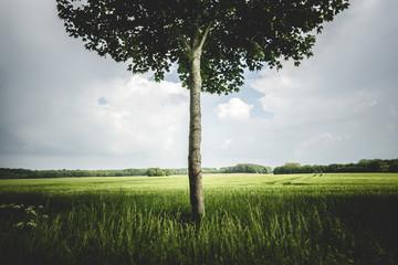 Single tree in a meadow