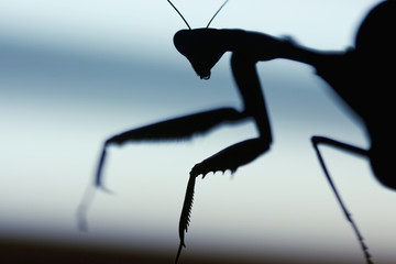 Mantis silhouette in the dark