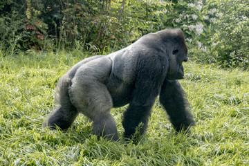 Gorilla strolling by