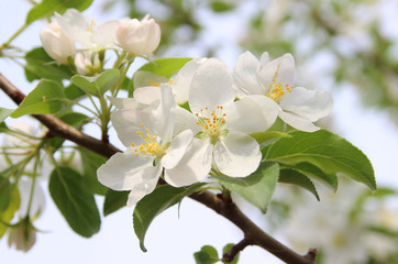 flowering trees and a spring garden. fruit blossoming trees.