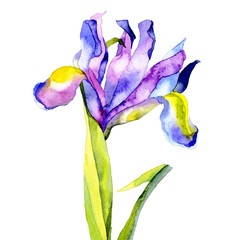 Violet, beautiful, garden, garden, meadow, ornamental flowers. Noble, slender, strong, fragrant iris. Festive bouquet. Watercolor. Illustration