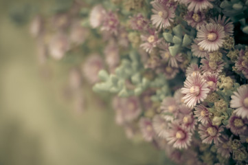 Pink succulent blooms in soft, antique tones