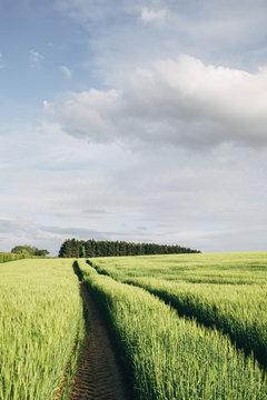 Track through a field of fresh barley. Norfolk, UK.