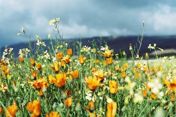 Wild Namaqualand Daises