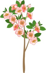 Blooming cherry tree on white background