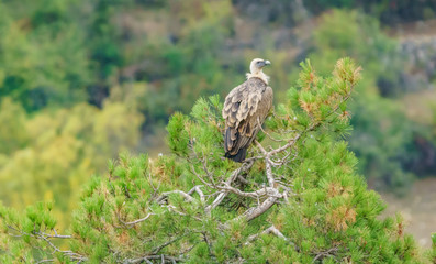 Vulture on top of pine tree