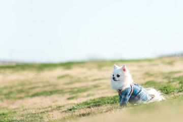 野原で一休みのチワワ