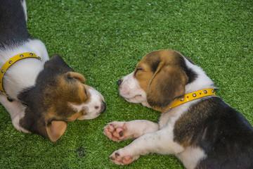 Cute beagle puppy sleeping or Two puppy beagle dog sleeping