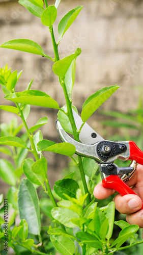 man cutting a lime tree with clippers
