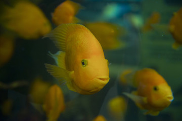 A flock of goldfish in green water.