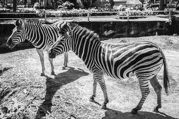 Two zebras walk the zoo in Thailand.