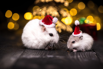 Cute hamster with santa hat on bsckground with christmas lights.