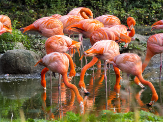 a flock of beautifully red Phoenicopterus ruber, Greater Flamingo