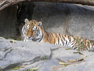 Amur Tiger, Panthera tigris altaica, lying on stone