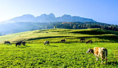 Fototapete - cows at the alps