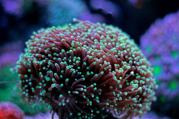 Euphyllia Torch lps coral