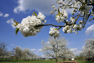 kirschblüte bei wiesbaden-frauenstein