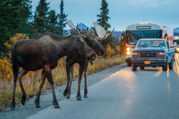 Two moose bulls crossing road in Denali NP