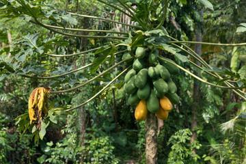 Raw ripe yellow papaya growing on a tree