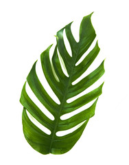Tropic monstera palm jungle leaf isolated on white