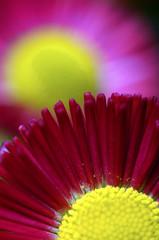 Fototapete - Macro of pink and yellow daisy flower