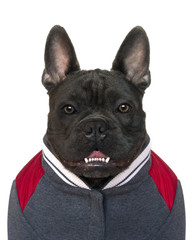 mugshot of a blue french bulldog head and shoulders of a blue French bulldog dressed in high school sports gear, on a white isolated