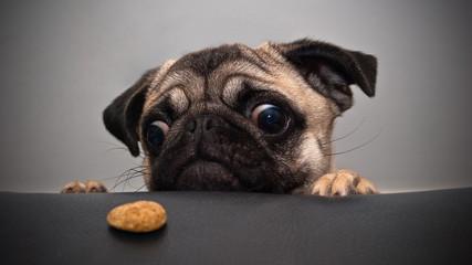 Foto op Plexiglas Hond dog pug