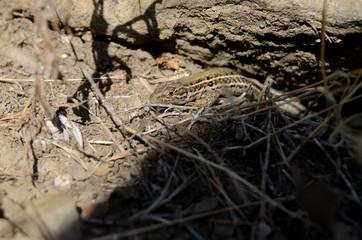 the Crimean mountain ordinary lizard creeps near stones