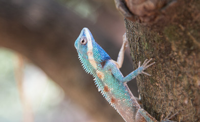 image of macro blue chameleon on the tree , Natural color change