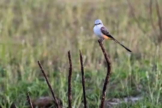 Scissortail Flycatcher perched on a stick