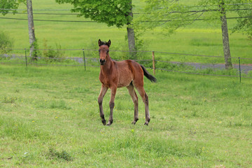 Two Month Old Bay Foal (colt)