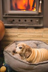 Older Dachshund Staying Warm