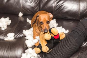 Dachshund Destroying Stuffed Toy